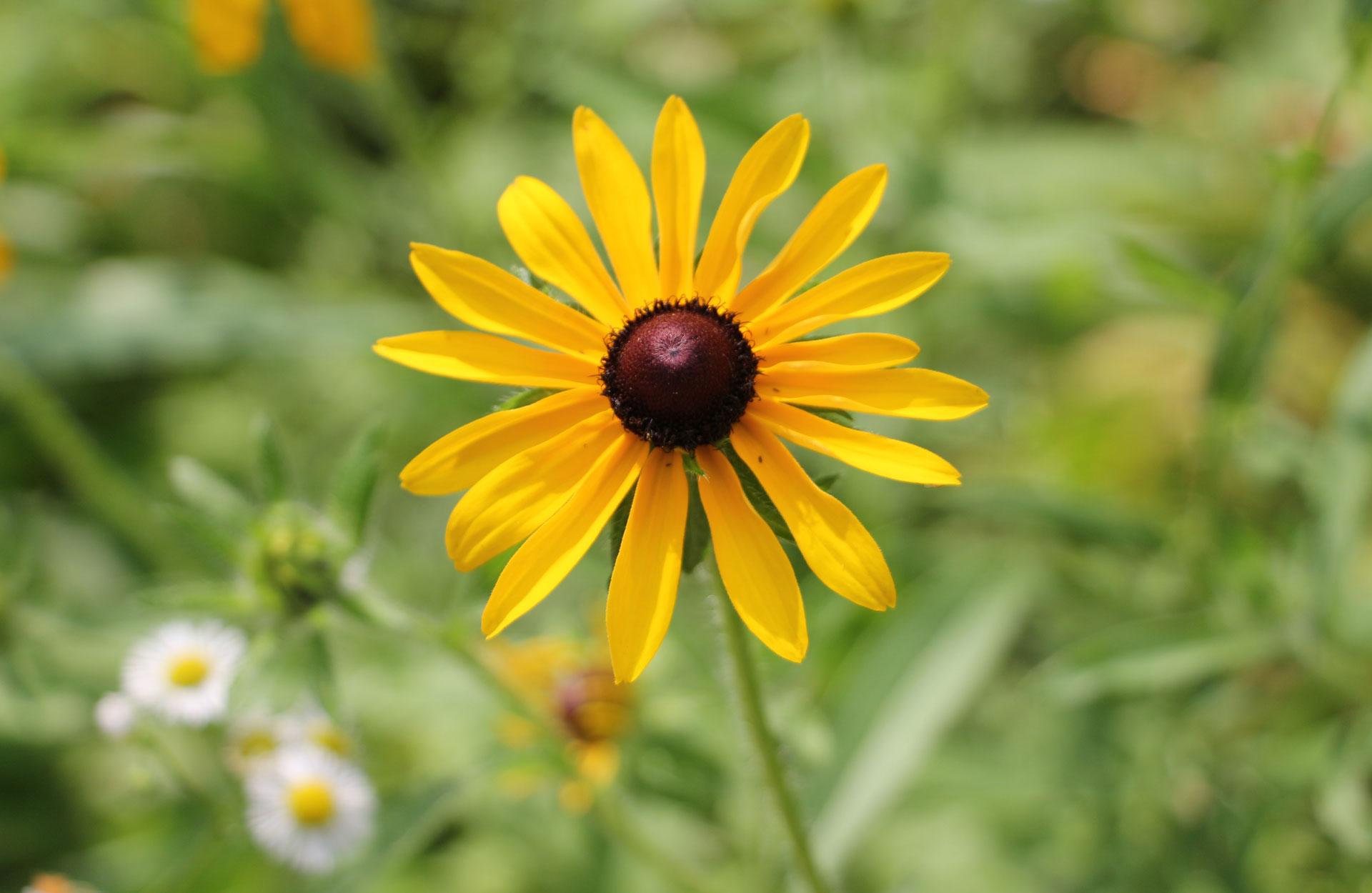 close-up of yellow daisy wildflowers